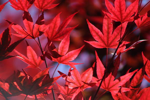 Photograph - Sangria Red Japanese Maple Leaves On Ce Soir by Colleen Cornelius