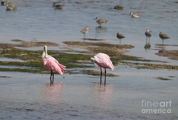 Photograph - Sanibel Island  Spoonbills by Christiane Schulze Art And Photography