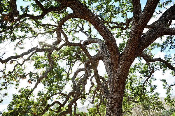 Photograph - Santa Monica Mountains Coast Live Oak by Kyle Hanson