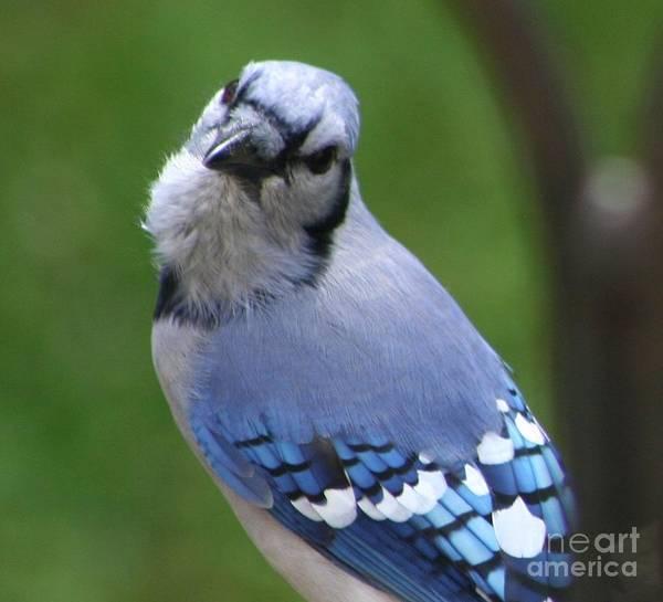 Photograph - Sassy Blue Jay by Barbara S Nickerson