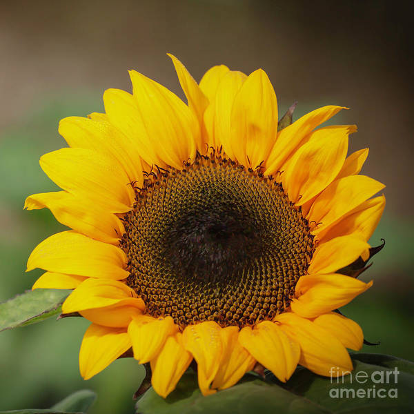 Photograph - Sassy Spring Sunflower by Sabrina L Ryan
