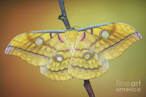 Photograph - Saturniidae Moth by Marco Fischer
