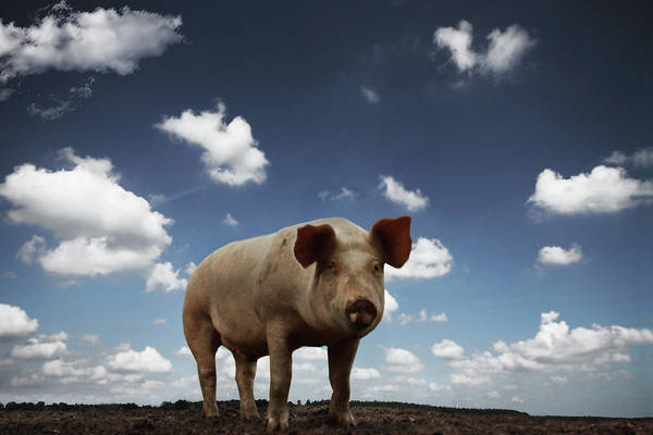 Pig Photograph - Sauerei by Ralf Wendrich