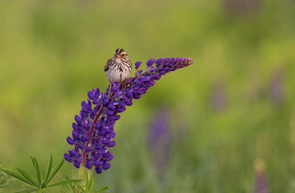 Photograph - Savannah Sparrow by Rob Davies