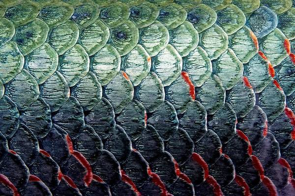 Photograph - Scales Of An Arapaima by KJ Swan
