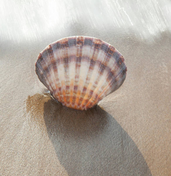 Wall Art - Photograph - Scallop Seashell In Surf Maui, Hawaii by Darrell Gulin