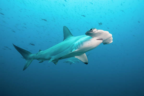 Hammerhead Photograph - Scalloped Hammerhead Shark, Galapagos by Michele Westmorland