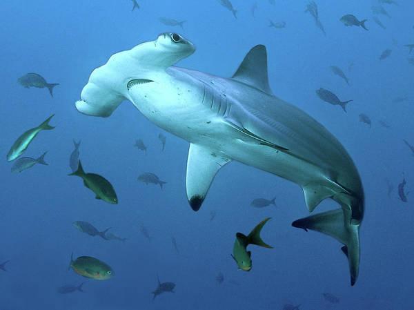 Hammerhead Photograph - Scalloped Hammerhead Shark Sphyrna by Richard Merritt Frps