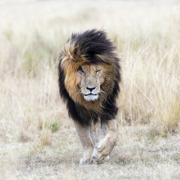 Animal Wall Art - Photograph - Scar The Lion by Jane Rix