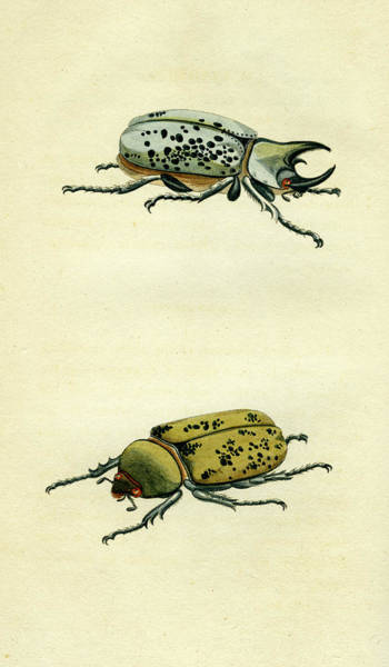 Mixed Media - Scarab Beetle by Unknown