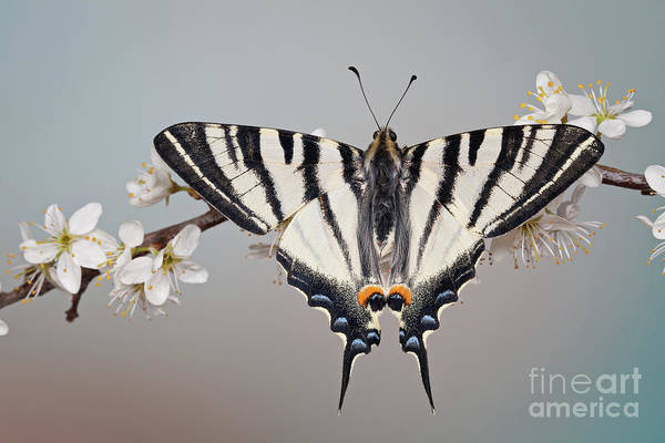 Photograph - Scarce Swallowtail by Marco Fischer