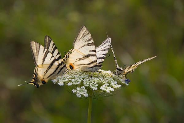 Wall Art - Photograph - Scarce Swallowtails by David Hosking