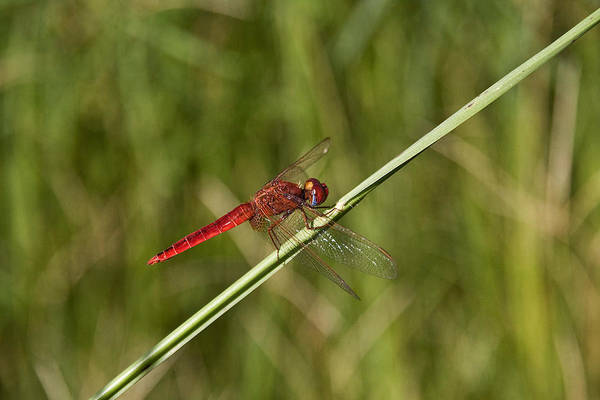 Wall Art - Photograph - Scarlet Dragonfly by David Hosking