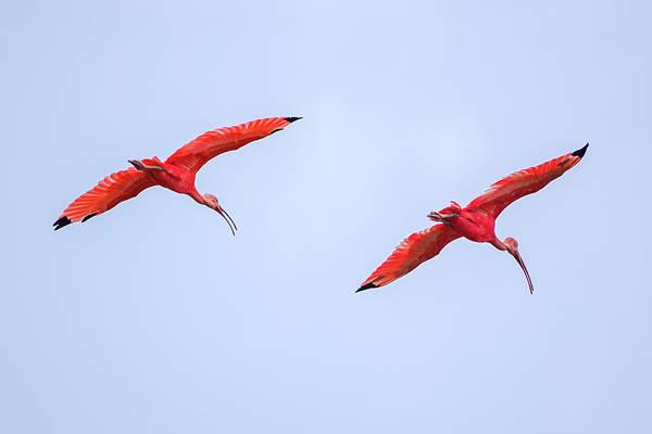 Photograph - Scarlet Ibis Guanapalo Casanare Colombia by Adam Rainoff