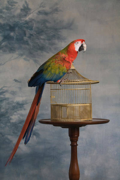 Cage Photograph - Scarlet Macaw Ara Macao Sitting On Cage by Rosanne Olson