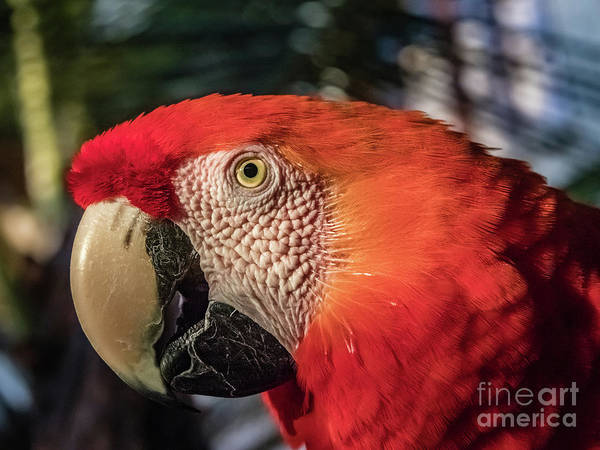 Photograph - Scarlet Macaw Portrait by Lyl Dil Creations