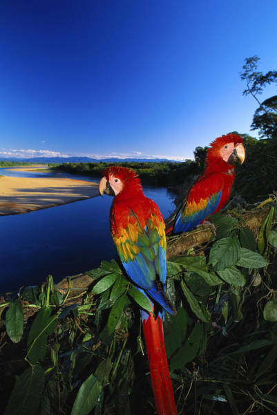 Macaw Photograph - Scarlet Macaws Ara Macao Tambopata by Art Wolfe