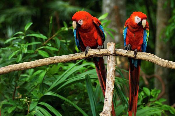 Macaw Photograph - Scarlet Macaws Ara Macao, Xcaret Eco by Guylain Doyle