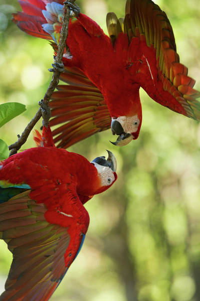 Macaw Photograph - Scarlet Macaws, Costa Rica by Paul Souders