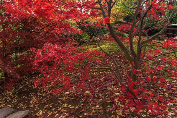 Photograph - Scarlet Red Acer Palmatum  Chitoseyama 1 by Jenny Rainbow