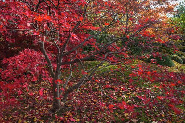 Photograph - Scarlet Red Acer Palmatum  Chitoseyama by Jenny Rainbow
