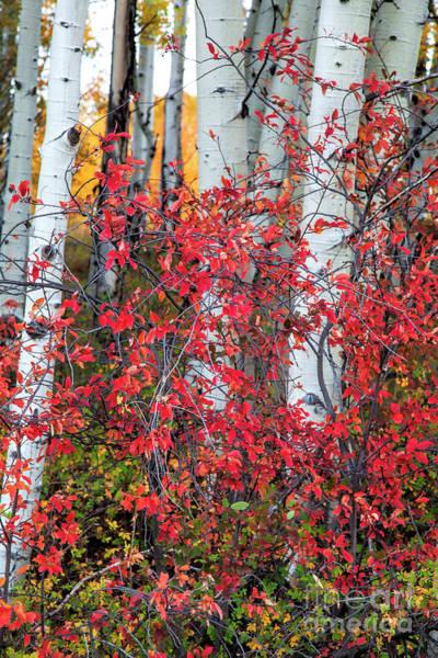 Photograph - Scarlet Ribbons by Jim Garrison