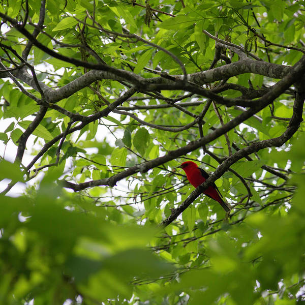 Wall Art - Photograph - Scarlet Tanager 01 by Teresa Mucha