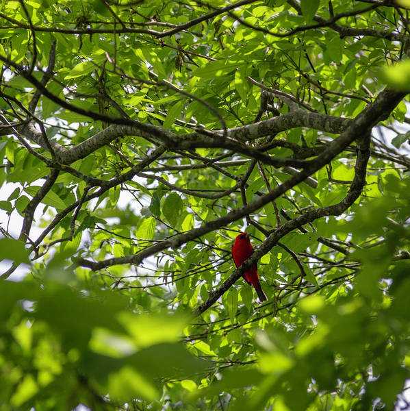 Wall Art - Photograph - Scarlet Tanager 02 by Teresa Mucha