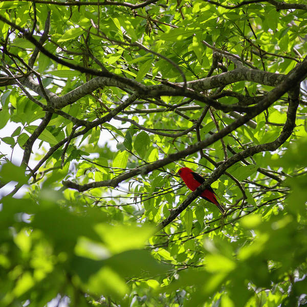 Wall Art - Photograph - Scarlet Tanager 03 by Teresa Mucha
