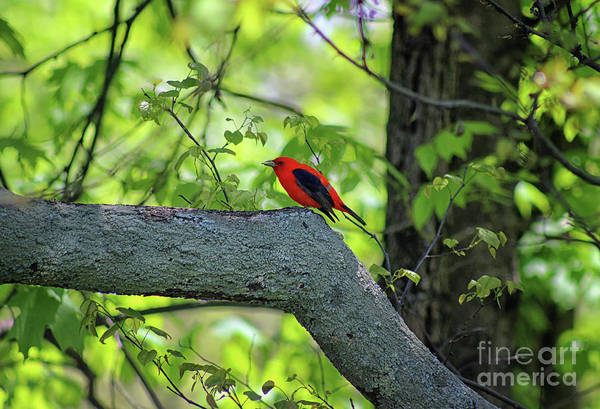 Photograph - Scarlet Tanager Bird 2019 by Karen Adams