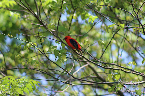 Photograph - Scarlet Tanager In Spring 2019 by Karen Adams