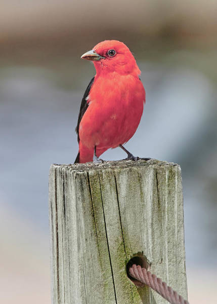 Scarlet Tanager On A Dock Art Print