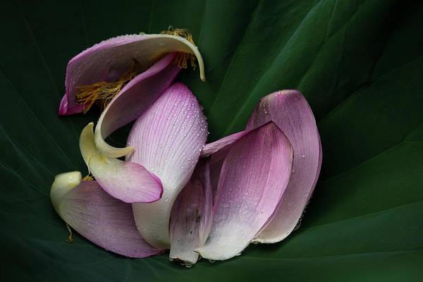 Petal Photograph - Scattered Lotus Petals by Masahiro Makino
