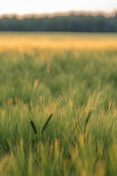 Wall Art - Photograph - Scenic Crop Of Barley, Vexin Region by Jim Engelbrecht