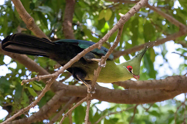 Photograph - Schalow's Turaco by Thomas Kallmeyer