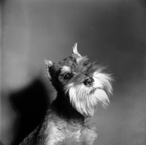 Schnauzer Photograph - Schnauzer Dog by Al Barry