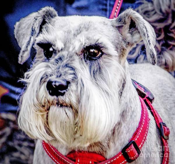 Photograph - Schnauzer Dog by Nigel Dudson