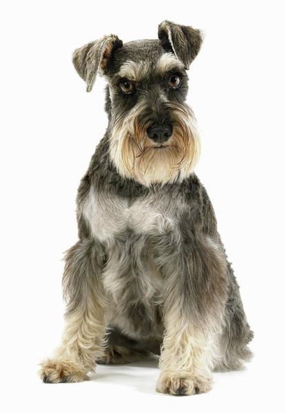 Schnauzer Photograph - Schnauzer Dog Sitting In Studio by Gandee Vasan