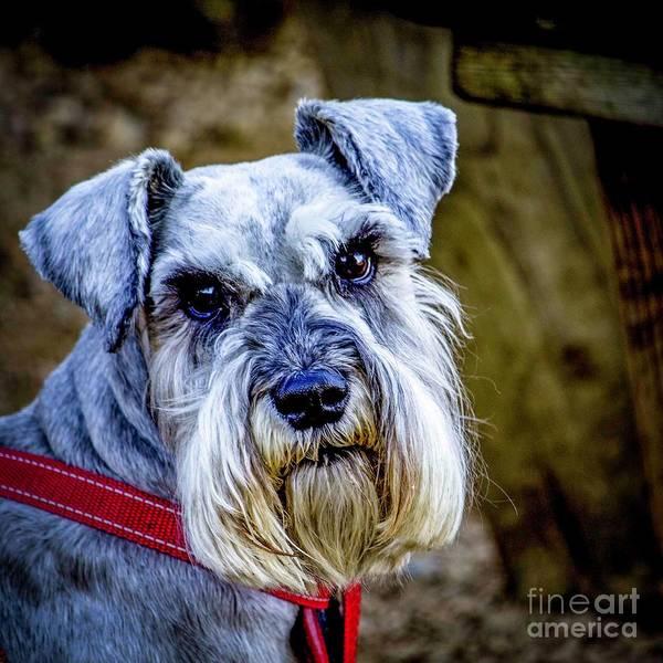 Photograph - Schnauzer by Nigel Dudson