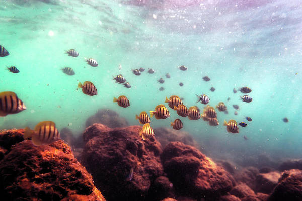 Photograph - School Of Convict Tang Fish by Christopher Johnson