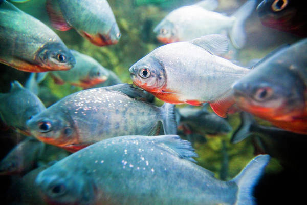 The Philippines Wall Art - Photograph - School Of Piranhas by Bob Stefko