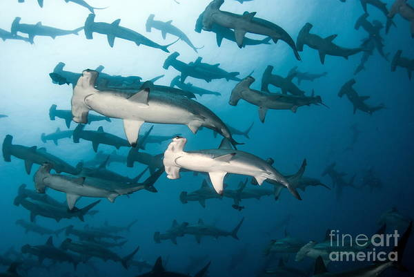 School Wall Art - Photograph - School Of Scalloped Hammerheads by Tomas Kotouc