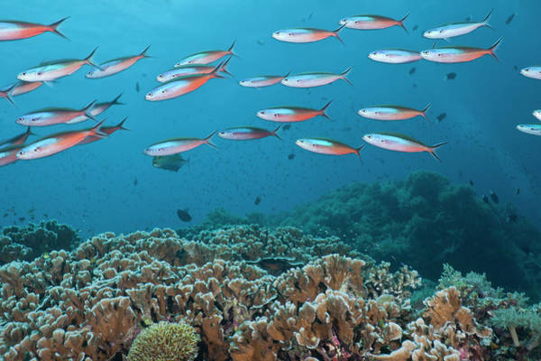 The Philippines Wall Art - Photograph - School Of Tropical Fish On A Coral Reef by Jeff Hunter