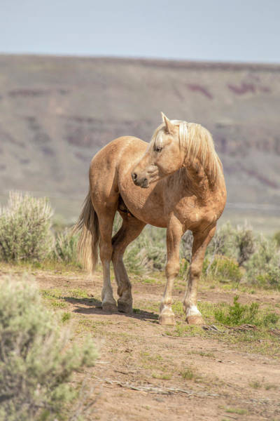 Wall Art - Photograph - Scirocco - South Steens Stallion 0987 by Kristina Rinell