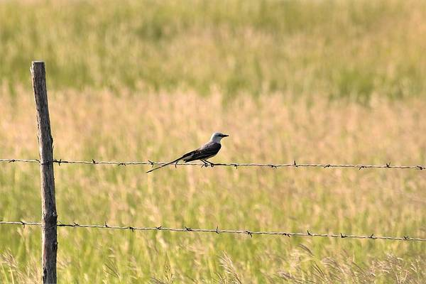 Photograph - Scissor-tailed Flycatcher On Fence by Sheila Brown