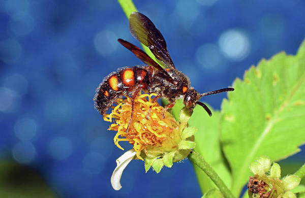 Photograph - Scolid Wasp by Larah McElroy