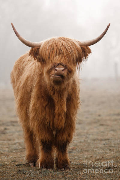 Wall Art - Photograph - Scottish Highland Cow by Franz Peter Rudolf
