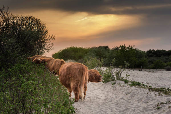 Photograph - Scottish Highland Cows In The Sand Dunes Of Scheveningen by Wolfgang Stocker