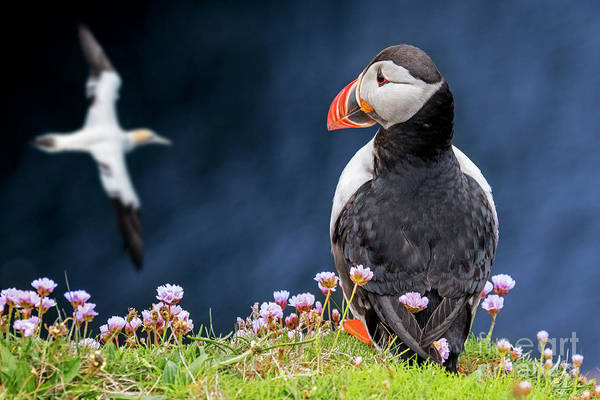 Photograph - Scottish Puffin And Soaring Gannet by Arterra Picture Library