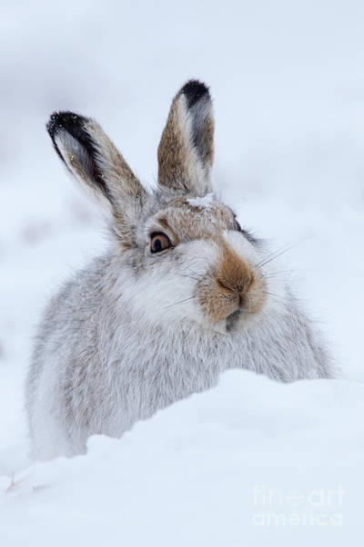 Photograph - Scottish Snow Hare by Arterra Picture Library